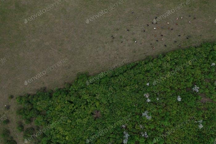 Draufsicht von Bäumen Textur, Land und Kühe