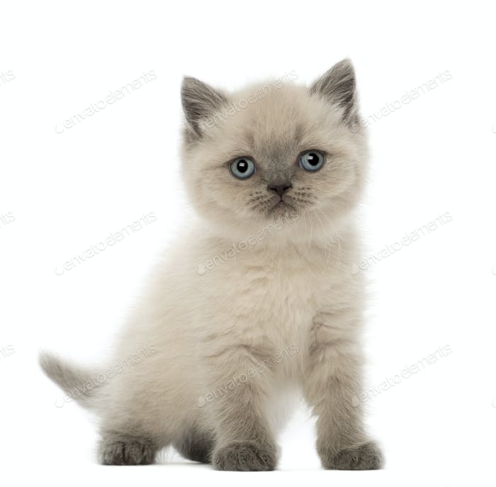 Portrait of British Shorthair Kitten, 9 weeks old, against white background