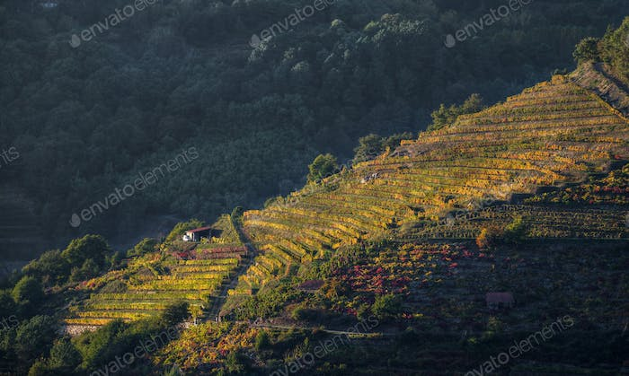 Late autumn light on vineyards