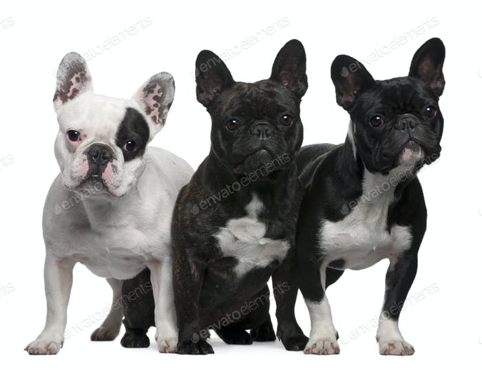 French Bulldogs, 11 months old, 3 and 6 years old, sitting and standing in front of white background