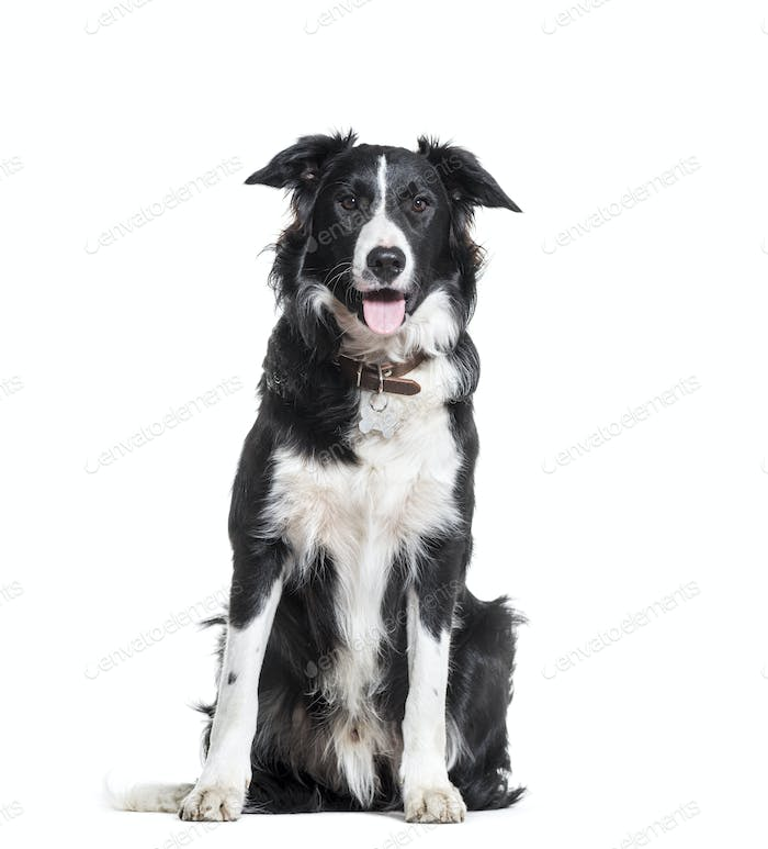 Border Collie dog sitting and panting, cut out