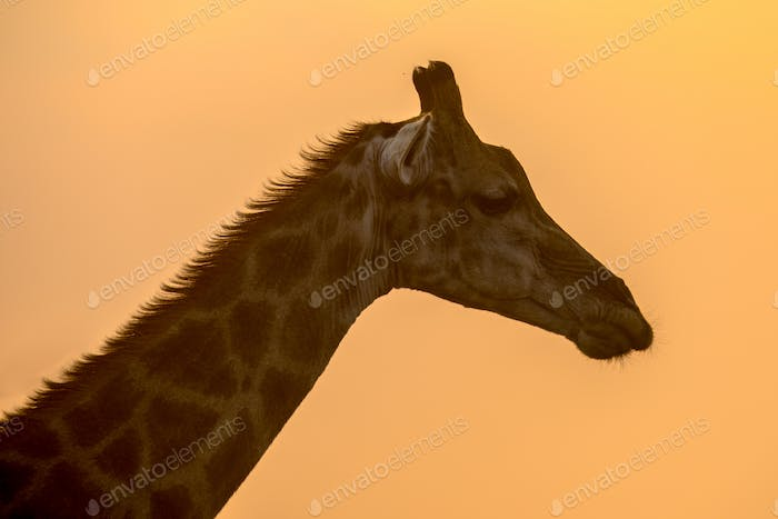 Giraffe silhouette in orange afternoon light