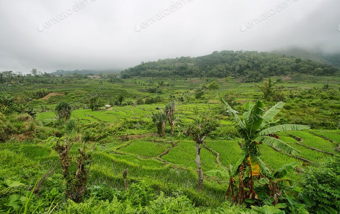 Bright green rice fields with palm
