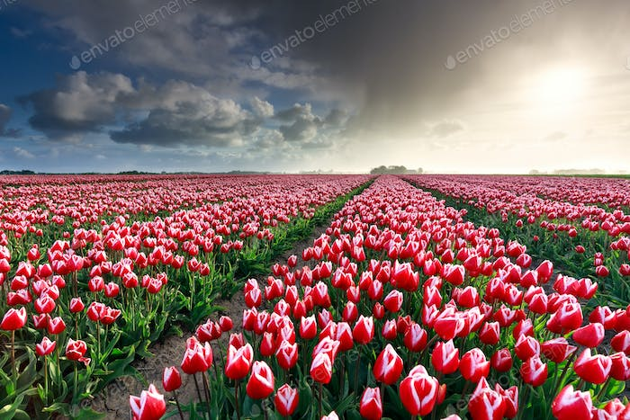 rainy cloud over beautiful tulip field
