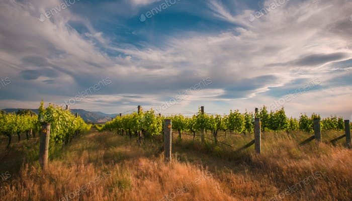 new zealand vineyard near Blenheim under a dramatic sky