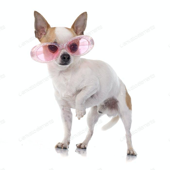 junge Chihuahua