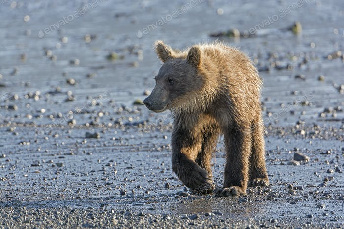 Young Grizzly Bear on a Estuary