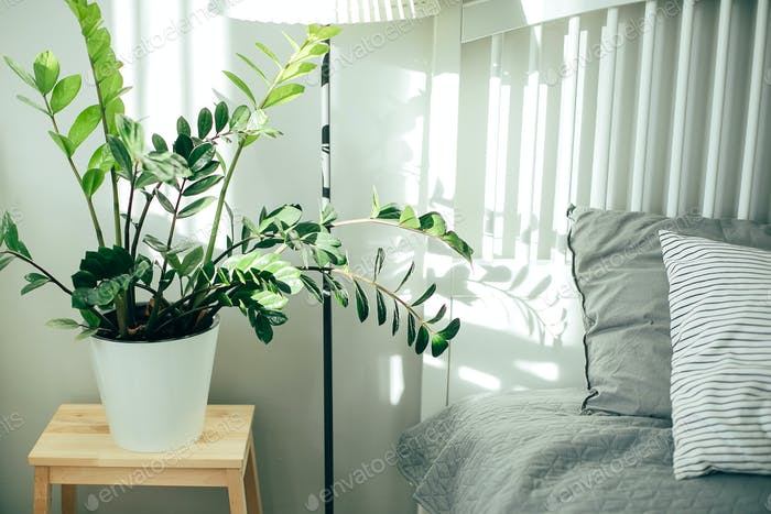Scandinavian interior in gray and white colors. House plant green ficus in bedroom