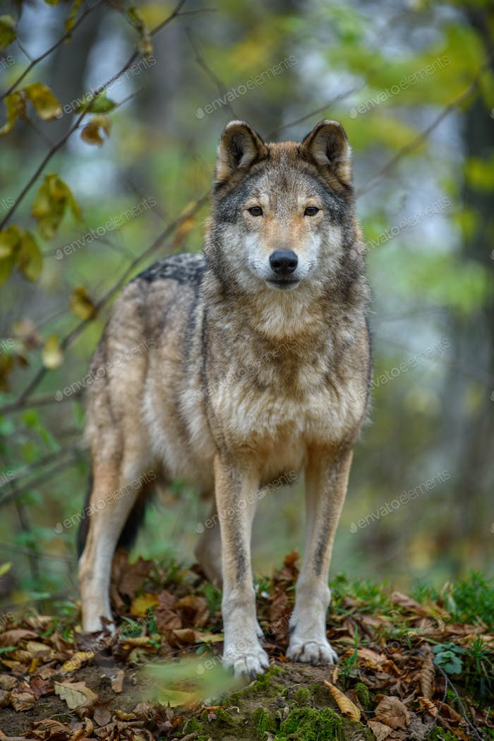 Close up wolf in autumn forest background