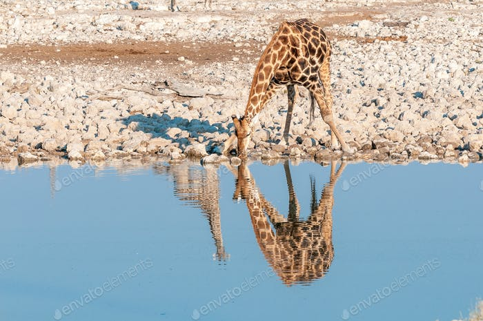 Namibian giraffe drinking. Reflections of two giraffes are visible
