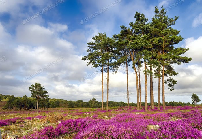Forest and Heather
