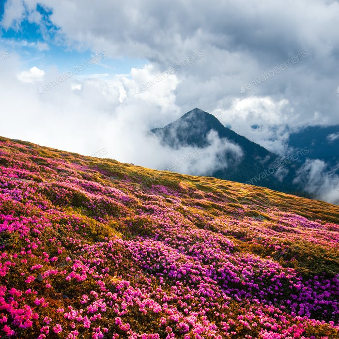 Dramatic unusual scene with rhododendrons bloom