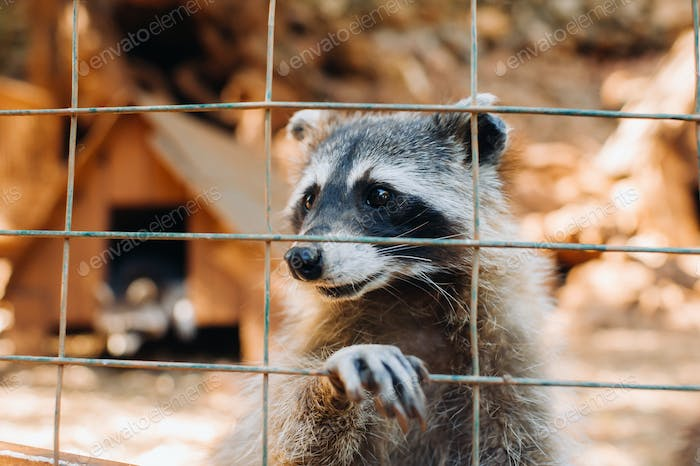 A raccoon in a cage at the zoo in summer looks through the bars.Raccoon in the natural Park of Askos