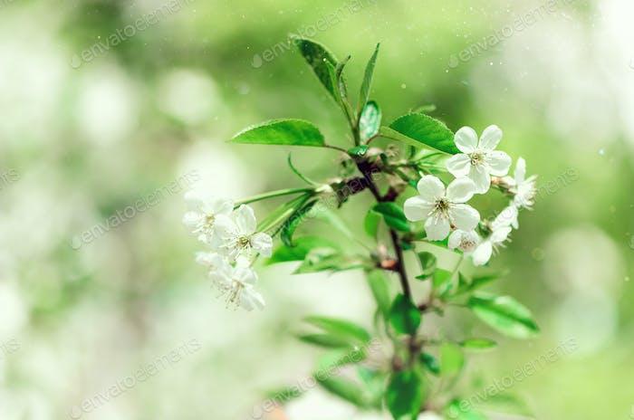 Blütenbaum, Frühling Natur Hintergrund. Sonniger Tag. Ostern und blühenden Konzept. Frühlingsblumen mit