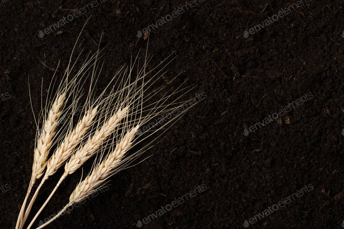 wheat on dark soil background texture