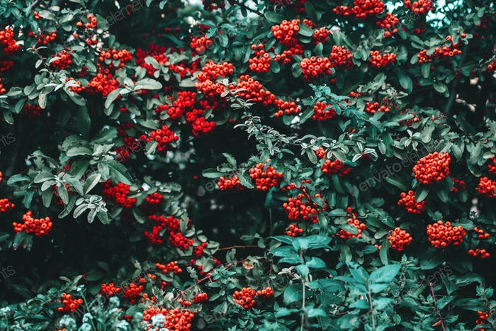 Beautiful rowan with rich red berries. Nature pattern background.