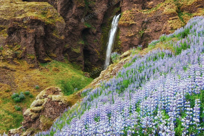 The picturesque landscapes of forests and mountains of Iceland. Wild blue lupine blooming in summer