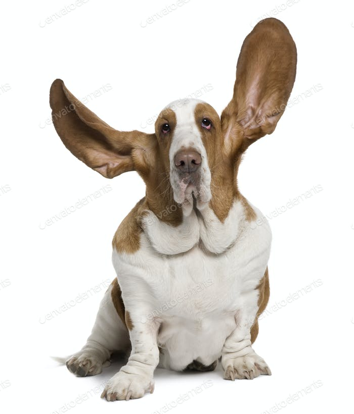 Basset Hound with ears up, 2 years old, sitting in front of white background