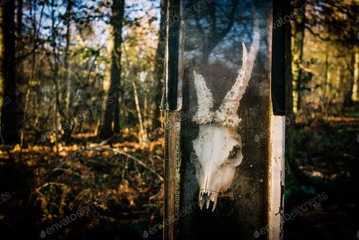 Deer Skull In Case
