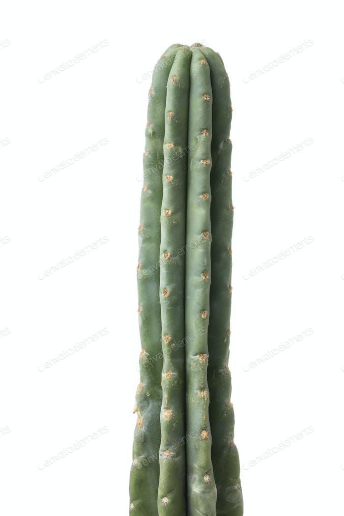 Green top of a San Pedro cactus