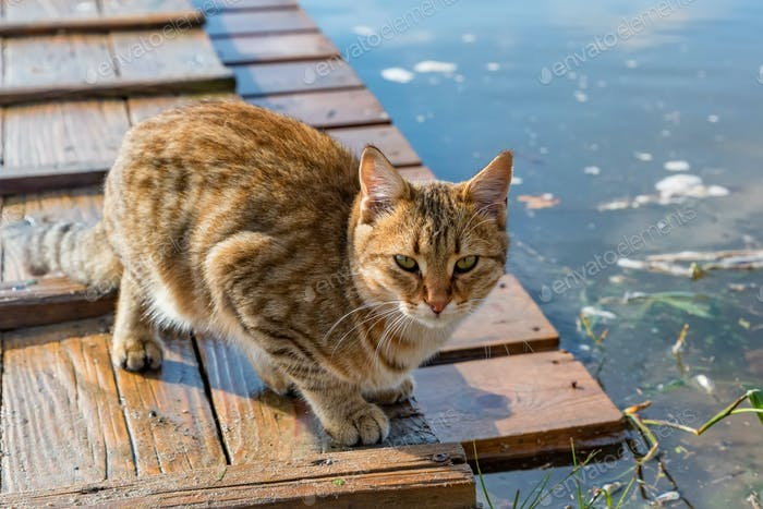 Thumbnail for Cute adult red tabby cat hunting outdoors