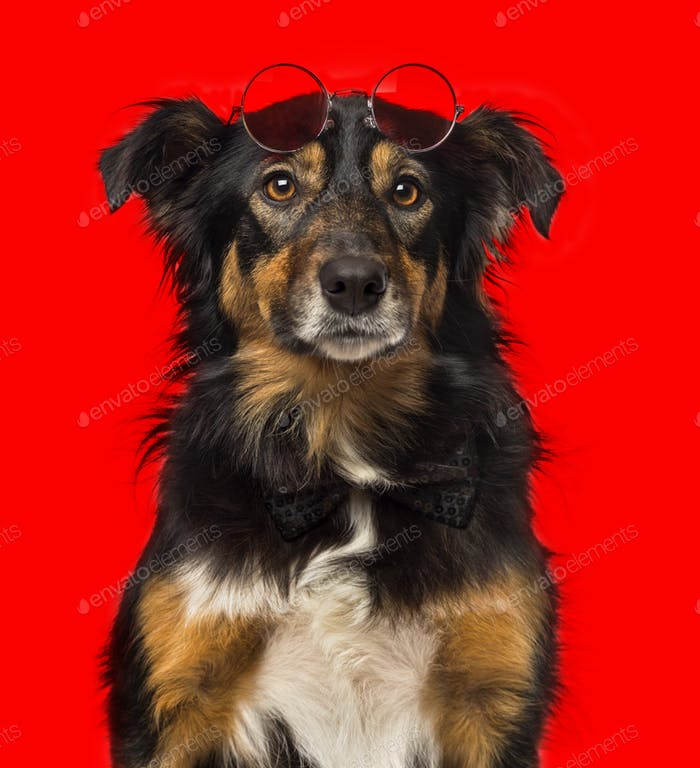 Close-up of a Border collie with red round sunglasses in front of a red background
