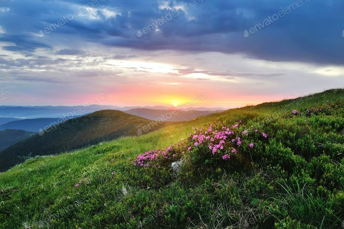 Magic pink rhododendron flowers on summer mountain. Sunrise
