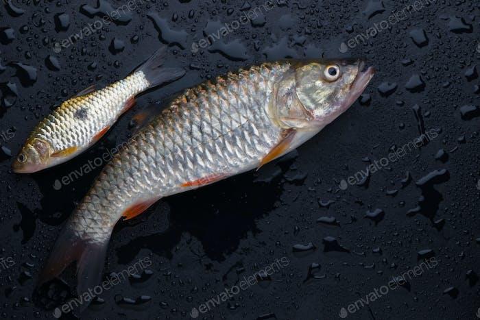 Fresh fish on wet floor