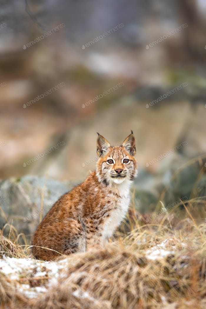 Young eurasian lynx sits in the grass at winter