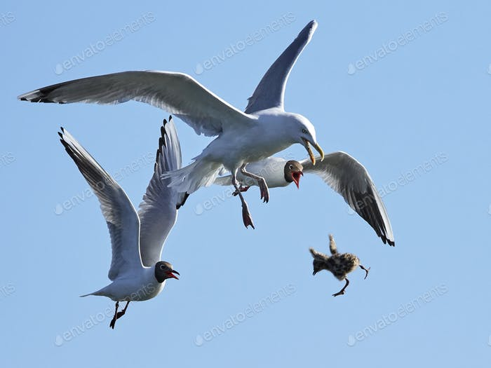 Black-headed gull (Chroicocephalus ridibundus) chasing European herring gull (Larus argentatus)