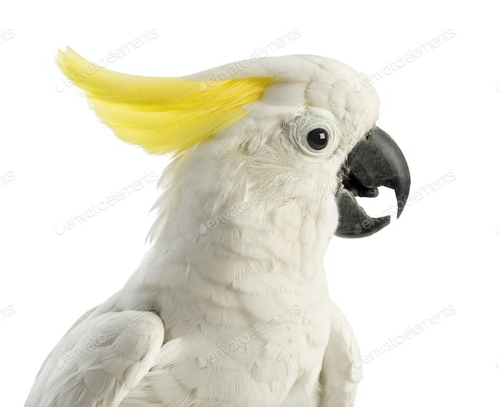 Sulphur-crested Cockatoo, Cacatua galerita, 30 years old, in front of white background