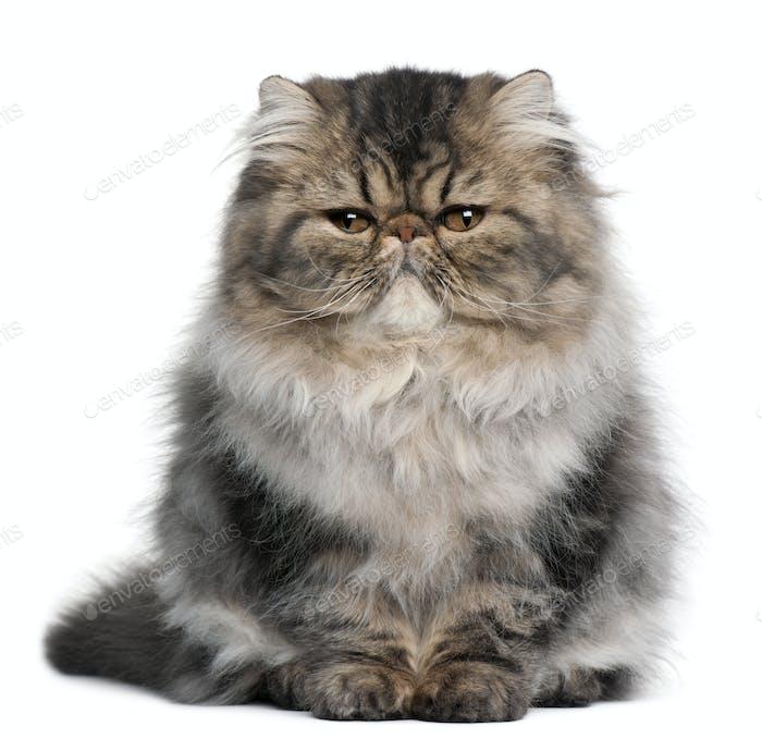 Persian kitten (4 months old)
