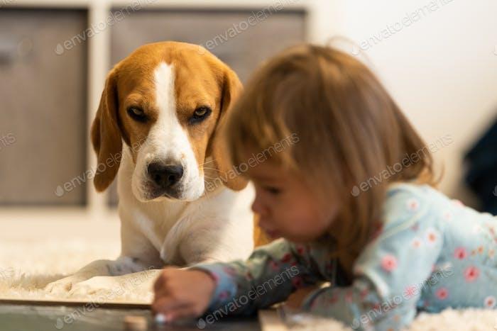 Beagle Hundebegleiter mit Baby im Vordergrund Selektiver Fokus, Familienhund Konzept