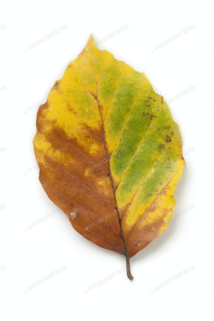 Single common beech leaf in autumn