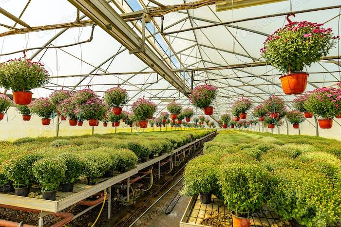 Gewächshaus von Chrysanthemen Pflanzen