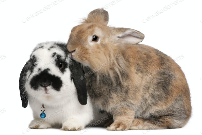 Lapponian Herder rabbits, 3 years old, in front of white background