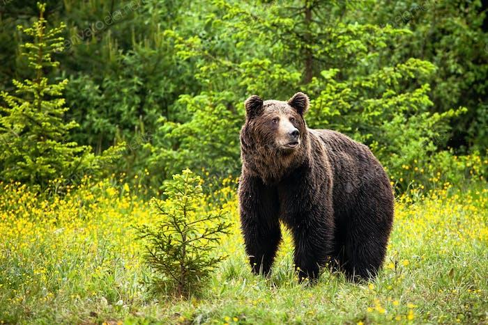 majestuoso oso oso marrón macho mirando lejos en primavera