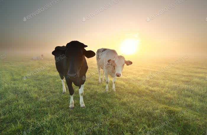 cows on pasture at sunrise