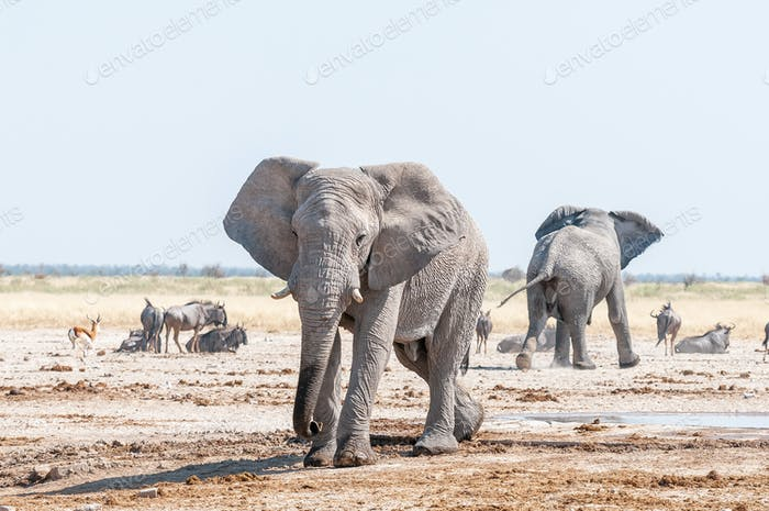 Two African elephants, blue wildebeest and springbok at a waterhole