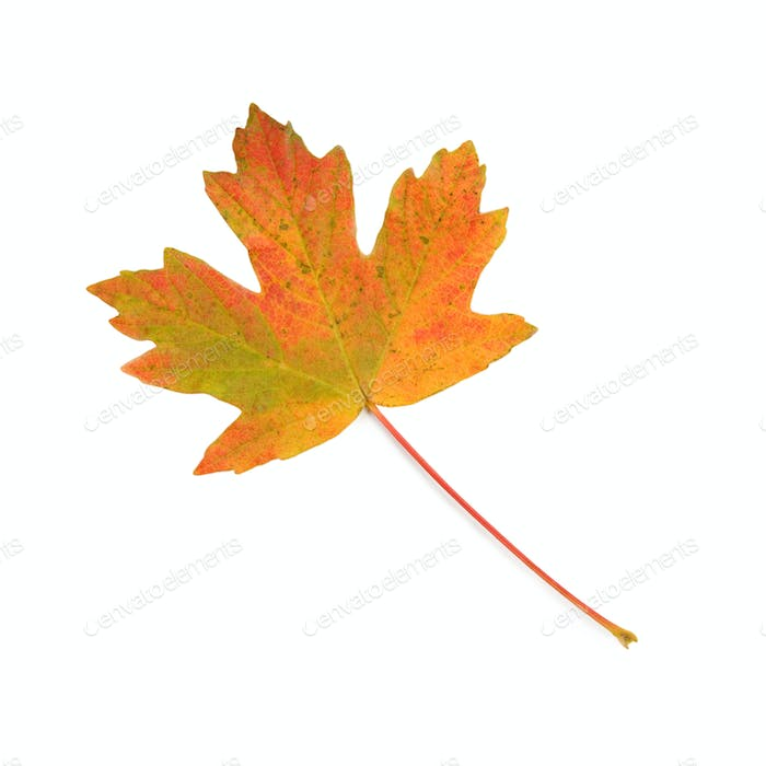 Colorful maple leaf.