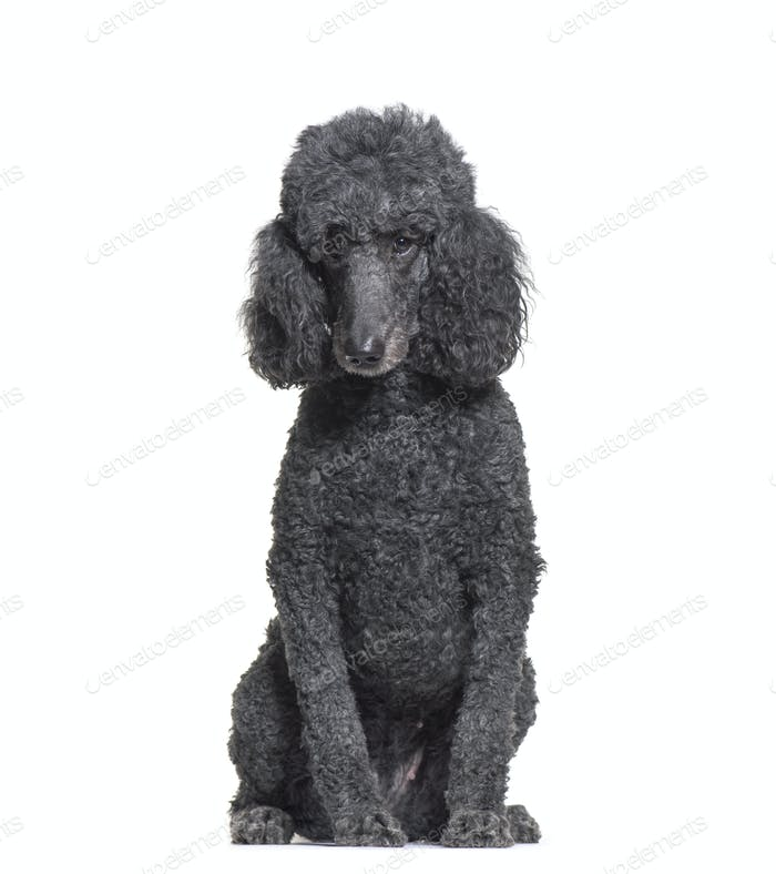 Sitting Poodle in front of a white background