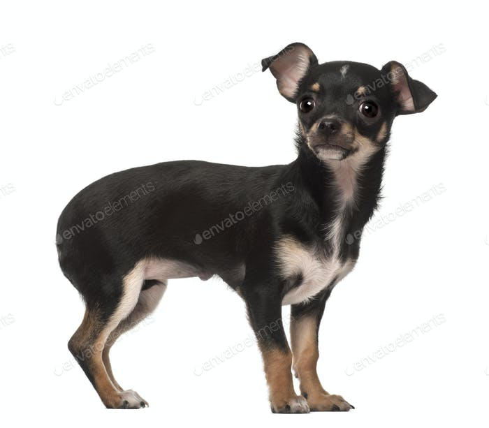 Chihuahua puppy, 4 months old, standing against white background
