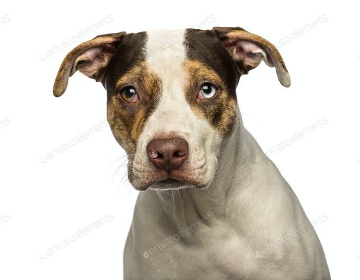 Close-up of a wall eyed crossbreed dog looking at the camera, isolated on white