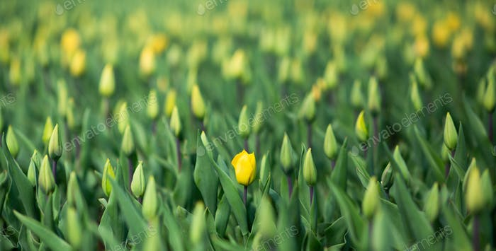 Yellow Tulip meadow, Colorful spring flowers in garden