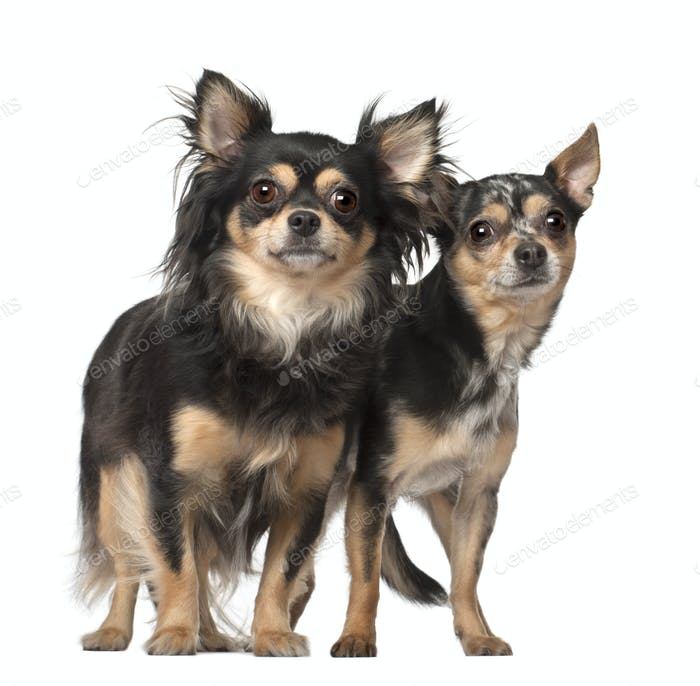 Chihuahuas, 4 and 2 years old, standing against white background