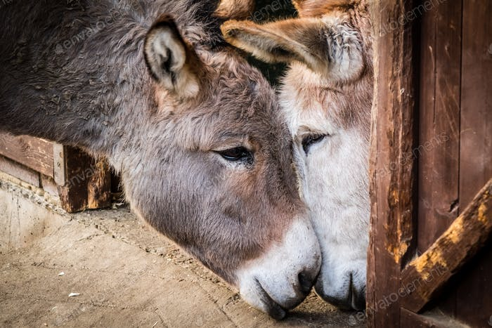 Donkey in love