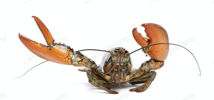 American lobster, Homarus americanus, in front of white background