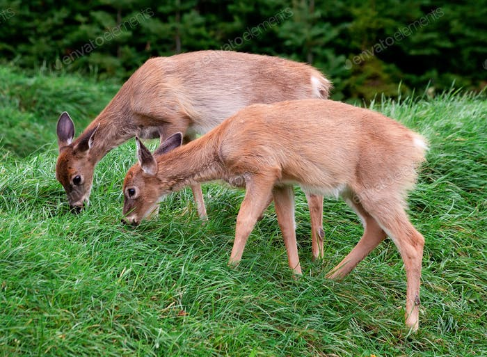 Two Fawns Eating Fresh Grass