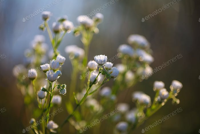 Meadow daisies flowers blooming in sunny day.
