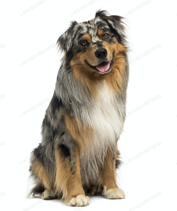 Australian shepherd blue merle sitting and panting, 4 years old, isolated on white